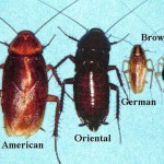 In Panama I lived with American cockroaches, which fly. German cockroaches don't seem so bad.